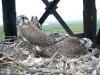 В этом гнезде спутниковыми передатчиками было помечено сразу два птенца