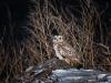 Сова болотяна. Фото А. Сімон