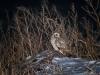 Сова болотяна. Фото І. Петрущенков