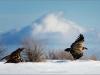 Гриф и сип на фоне зимнего крымского пейзажа