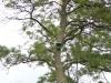 В Угорщині в лісосмугах багато гніздових ящиків для соколків