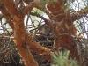 Затаившийся птенец змееяда в гнезде №3