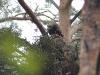 Крупный птенец малого подорлика на гнезде
