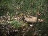 Почти полностью оперившийся птенец змееяда в гнезде