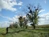 Гнездо курганника №1 в старом грачевнике