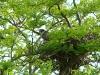 Самка чеглока у гнезда