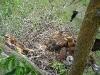 Птенцы курганника в гнезде №3