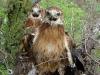 И агрессивная встреча трех птенцов