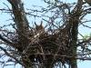 Самка ушастой совы обогревает птенцов