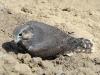 Птенец балобана у гнезда