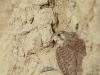 Пустельга насиживает кладку