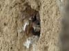 Птенцы пустельги выглядывают с гнездовой норы