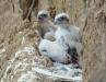 Снова птенцы балобана