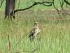 Самка болотной совы