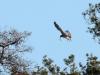 Приваблюючи самицю, він спускається до гнізда в особливій манері: крила підняті, широко розкинуті й тріпотять