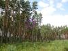 26.07.09 : необычный выбор гнездового дерева - на краю старой вырубки. Гнездо совершенно открыто с одной стороны и при размещении на боковых ветвях сильно подвержено воздействию ветра. Фото Письменного К.А.