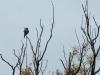 Ястребиная сова на присаде. 14 октября 2013 г, окр. с. Червонное Ичнянского района, Ичнянский национальный природный парк. Фото С. Гладкевич