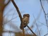 Воробьиный сычик (Glaucidium passerinum), Киевская обл. 17.02.2017