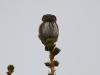 Воробьиный сычик на страже гнездовой территории