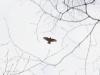 Воробьиный сычик в полете