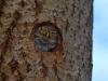 Самка выглядывает с гнездового дупла