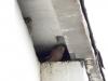 Підлітки або поршки боривітра у гніздовій ніші під дахом багатоповерхівки. Фото К. Письменний