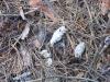 Погадки и остатки пищи под гнездом тетеревятника