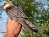 Самка кобчика Dana с установленным спутниковым передатчиком (фото с сайта http://falcoproject.eu/en/content/deployment-satellite-transmitters-red-footed-falcons-kazahstan)