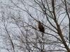 Взрослый орлан отдыхает