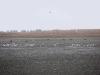Группа орланов на прудах ок. с. Бугаевка (обратите внимание на 9 орланов на дальнем плане перед тростником)