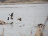 Молодые орланы и врановые во время кормежки