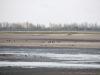 Группа орланов на пруду ок. пгт Ирклиев