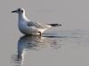 Озерная чайка в зимнем наряде (Р.Ватрасевич)