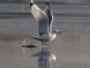 Сизая чайка на взлете (Р.Ватрасевич)