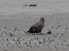 Взрослый орлан на спущенном пруду (Н.Борисенко)