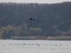 Орлан над стаей больших бакланов (Н.Борисенко)
