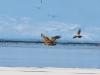 Орланів із здобиччю майже завжди переслідують сірі ворони
