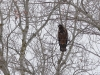 Забарвлення молодих орланів доволі мінливе - цей мав строкате пір'я на грудях