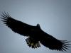 Орлан-белохвост. Король неба. Фото: С. Гладкевич