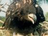 Молодой орлан на гнезде. \'\'Ты принес мне рыбы?! или только кольцо?\'\' Фото: М. Гаврилюк
