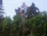 Вокруг гнезд орлана в Украине нет охранных зон. На фото: сосна с гнездом орлана засохла после проведения вырубки в непосредственной близости. Белохвосты оставили гнездовой участок в следующем году. Фото: М. Гаврилюк