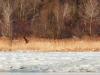 Дорослий орлан білохвіст, Канівський заповідник. Фото: М.М. Борисенко.