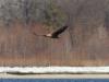 Дорослий орлан білохвіст, Канівський заповідник. Фото: В.М. Грищенко