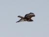 Обыкновенный канюк